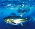 Жовтоперий тунець
