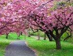 Ханамі - подивіться, як цвіте сакура